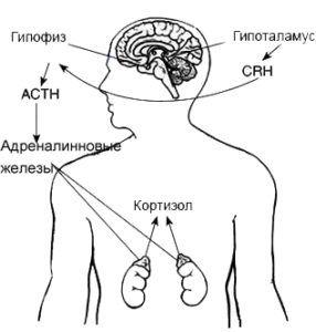 Как влияет кортизол на организм