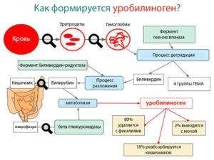 Как формируется уробилиноген?