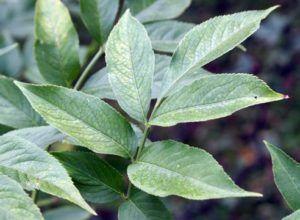 листья Бузины