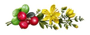 Отвар листьев и плодов, смешанных со Зверобоем, хорошо помогает от энуреза