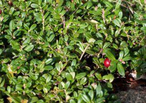 Брусничные листья при лечении