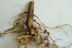 корень ежевики