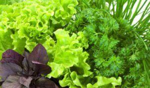 Зелень употребляется в свежем виде без соли