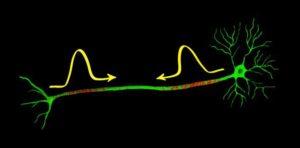 Процесс передачи импульсов в половой орган