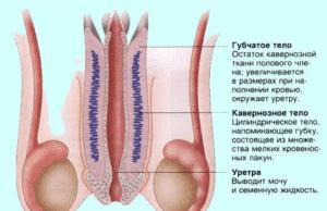 Пенис состоит из трех кавернозных элементов
