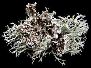 мох кладония