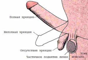 Механизм мужской эрекции