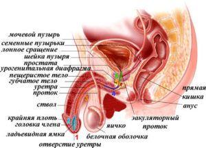 строение мочеполовой системы