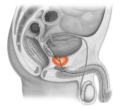 Где находится предстательная железа у мужчин, норма размеров простаты по возрастам
