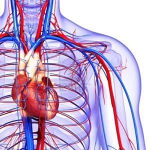 алкоголь очень быстро разносится кровеносной системой по всему организму