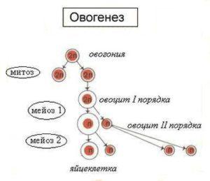 Схема развития овогенеза