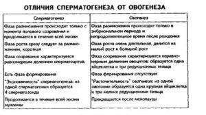 Отличие спематогенеза от овогенеза