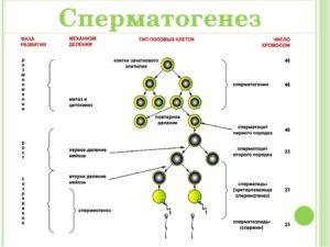 Этапы созревания сперматозоидов в мужском организме