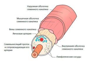 Анатомия семенного канатика